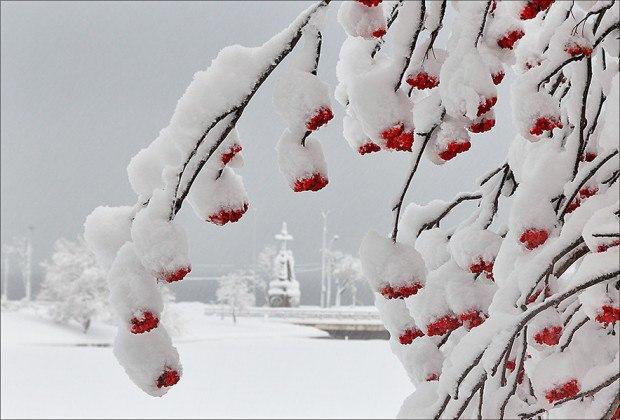 ветви рябины в снегу