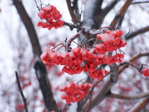 Стихи о рябине под снегом