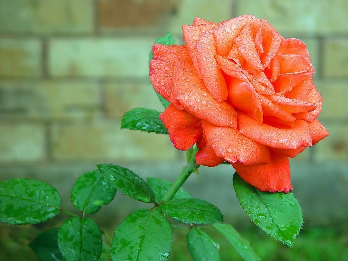 "Картинки розы "" HD Porno Online"