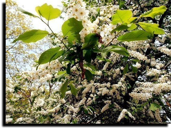 Когда черёмуха цветёт... Романс  ( Музыка и исп. Евгений Евдокимов)