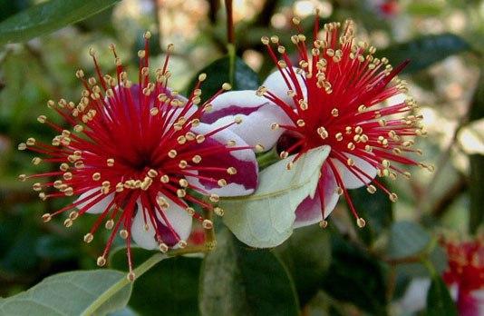 Цветы фейхоа