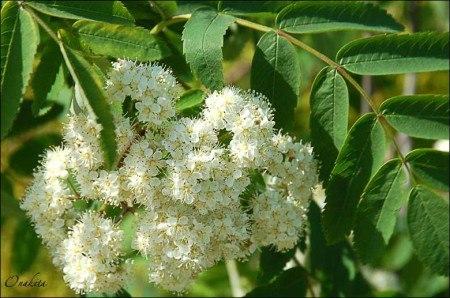 Ой рябина кудрявая белые цветы скачать