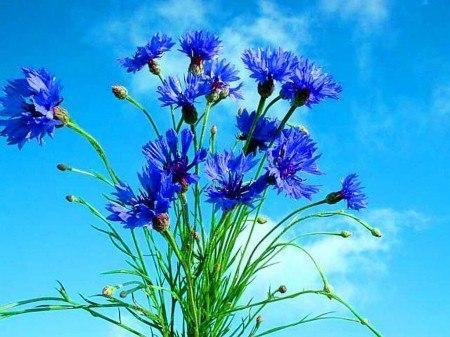 Василёк цветок картинки