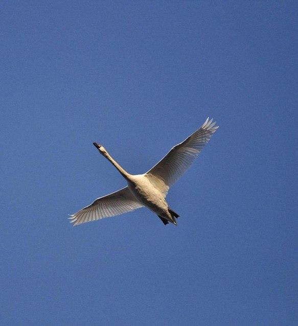 картинки одинокая лебедь в небе здесь стоимость аналогичного
