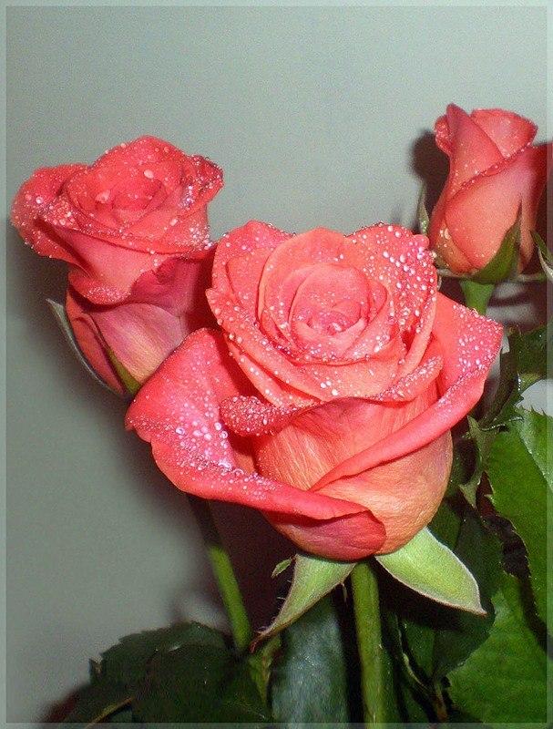 Песню три розы