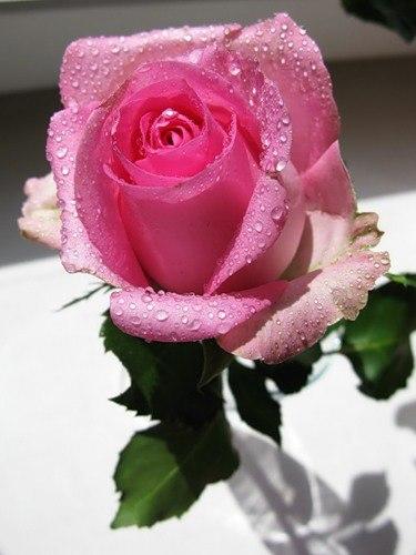 розы анимации красивые на телефон № 6969 бесплатно