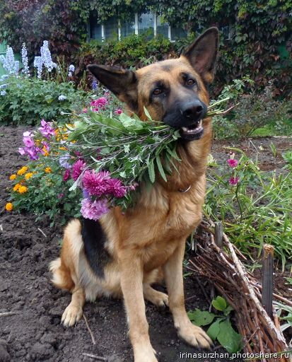Овчарка с цветами в зубах