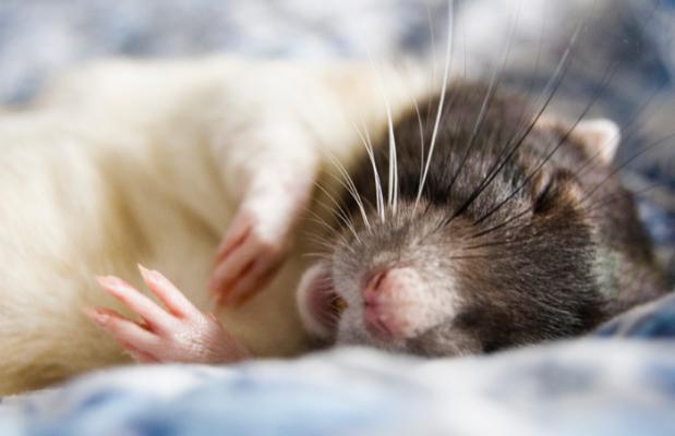 Картинки с крысой спокойной ночи
