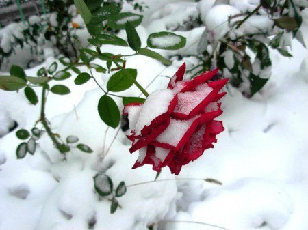 Картинки по запросу роза колючая на снегу картинки