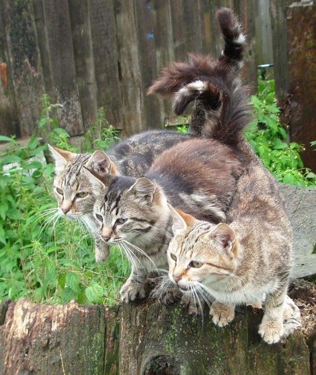 Коты идут гулять