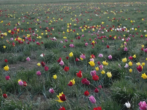 Ранние тюльпаны  Казахстана