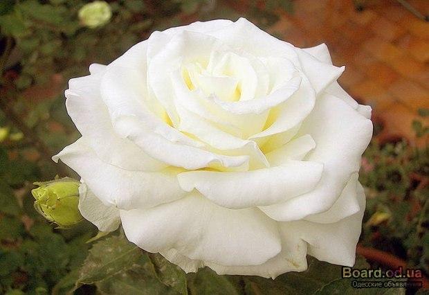 Роза Википедия