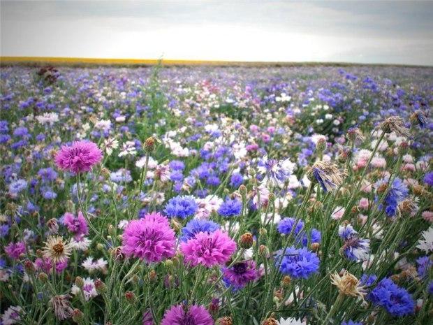 Стих полевые цветы полевые