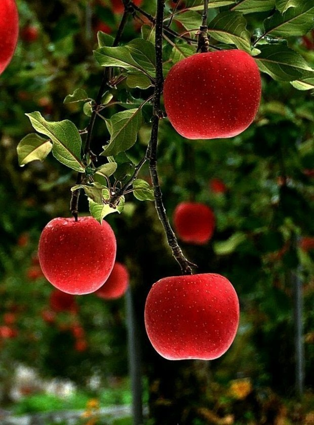 циркон, гифка яблоня каталоге
