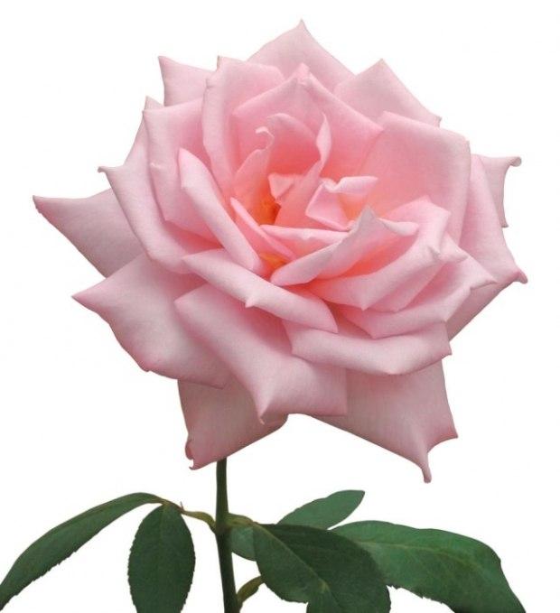 Розовая роза анимации картинки, антикварные