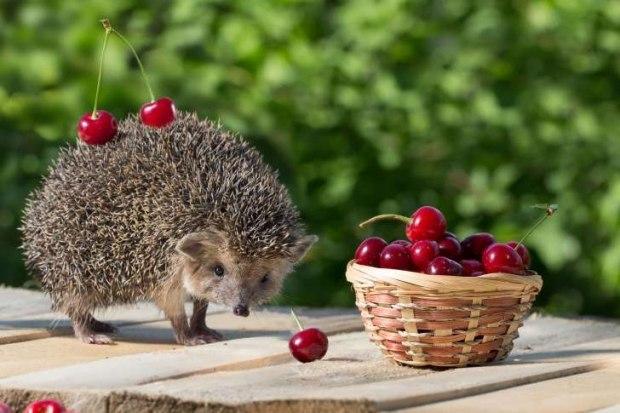картинка ежик с ягодками роль лизы