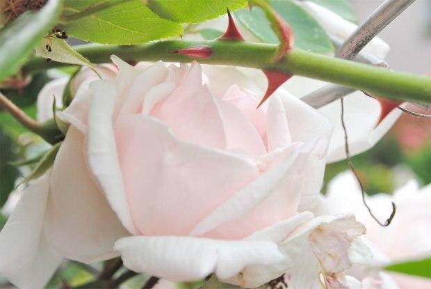 Круг розы с острыми шипами