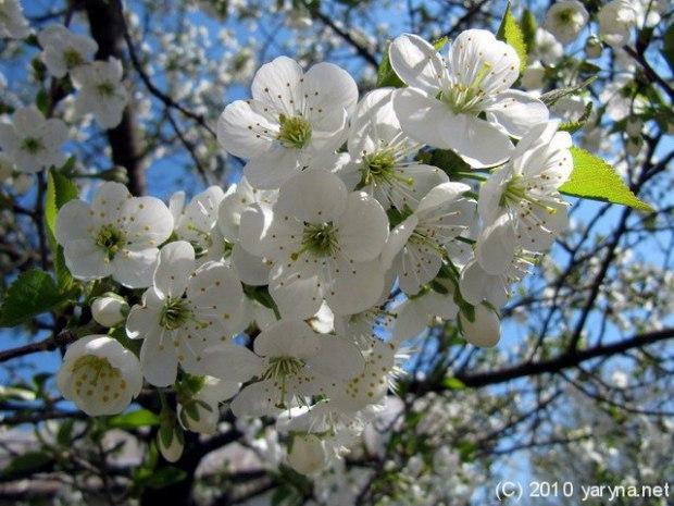 Божественный мой сад цветущий