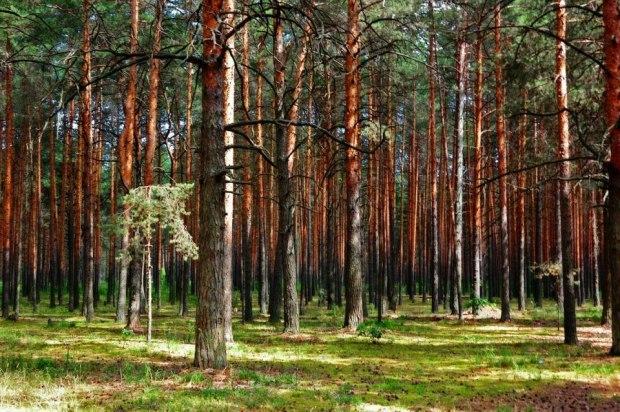 фото сосновый бор