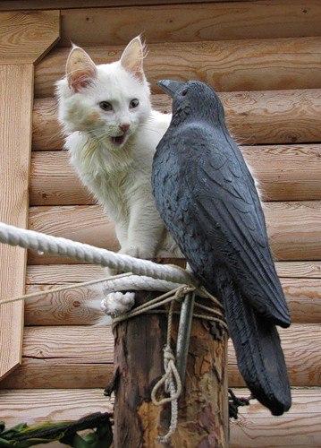 ворона и кот фото всякой ситуации