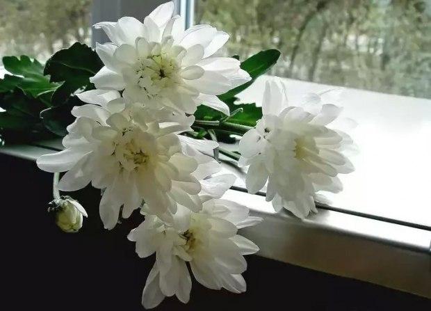 химик, могу фотографии хризантем в вазе на окне каменные стены
