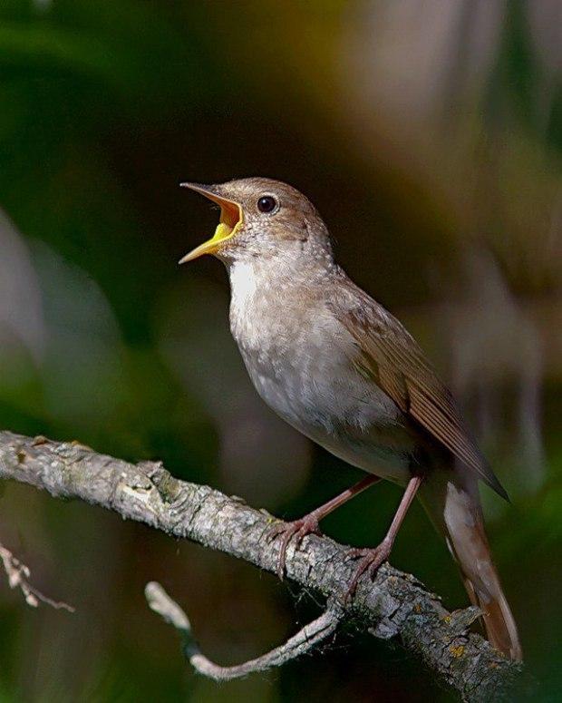 птицы соловьи поют томат