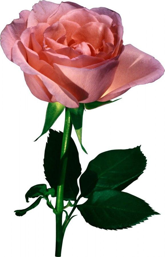 Днем рождения, картинки для детей роза на прозрачном фоне