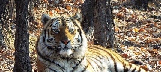Тигра Амура забирают из сафари парка