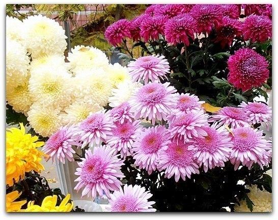 Осени поздней цветы запоздалые... Романс