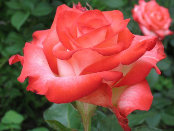 фото и описание роз флорибунда